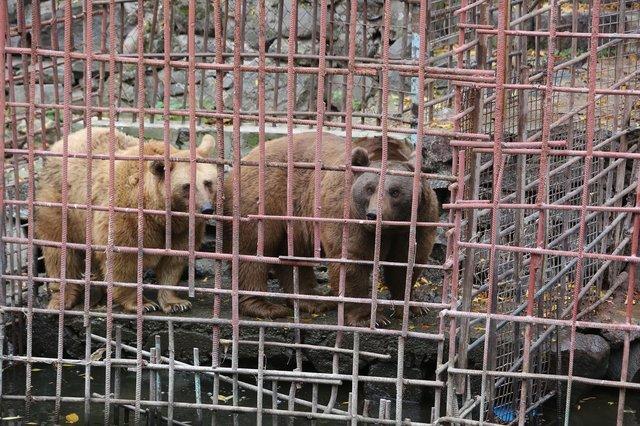 Уснула одна, проснулась... втроём! Медведица, которую спасли из клетки в ресторане, удивила всех :)