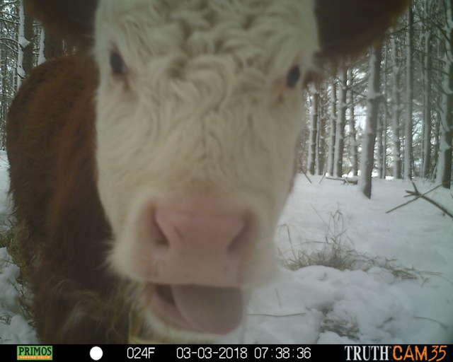 Олени усыновили... телёнка! :) Малыш сбежал в лес от мясников, но люди вновь начали на него охоту... рис 5
