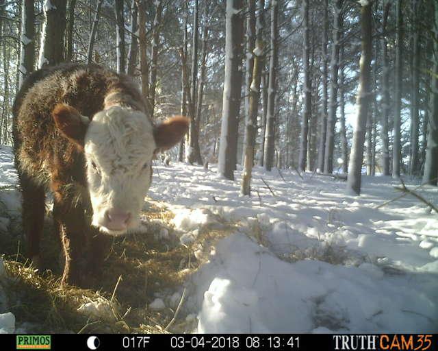 Олени усыновили... телёнка! :) Малыш сбежал в лес от мясников, но люди вновь начали на него охоту... рис 4