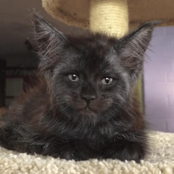 Кошка с человеческим лицом рис 2