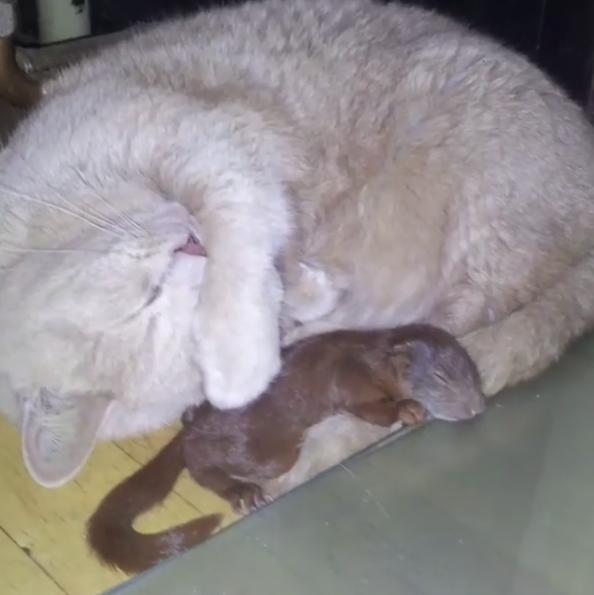 Кошка нежно прижимала к себе раненого бельчонка... История 3-х усатых друзей, полная счастливой любви! рис 6