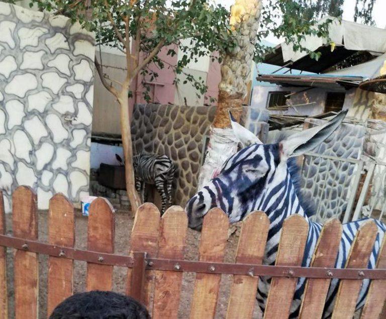 """""""Ух ты, зебра полиняла!"""" Курортный зоопарк раскрасил ослов, чтобы люди приняли их за экзотику... рис 2"""