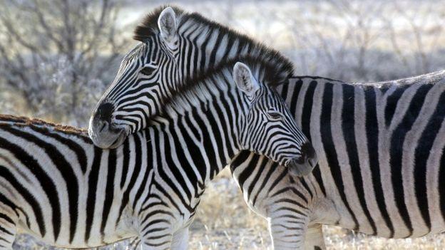 """""""Ух ты, зебра полиняла!"""" Курортный зоопарк раскрасил ослов, чтобы люди приняли их за экзотику... рис 6"""