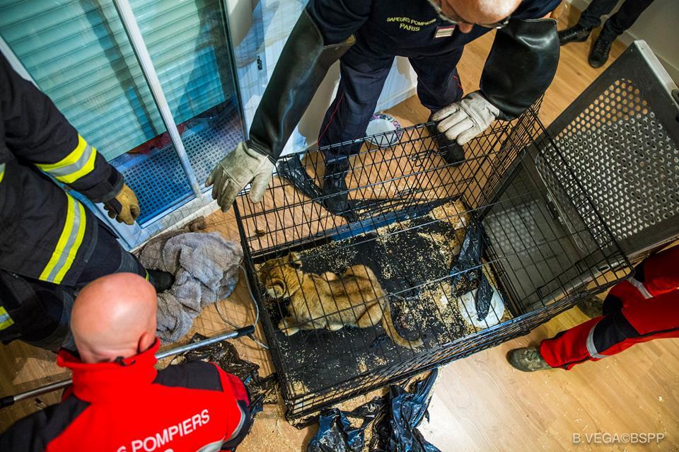 Вот что произошло со львёнком в заброшенном парижском доме... Зато теперь его грива ловит ветер! рис 3