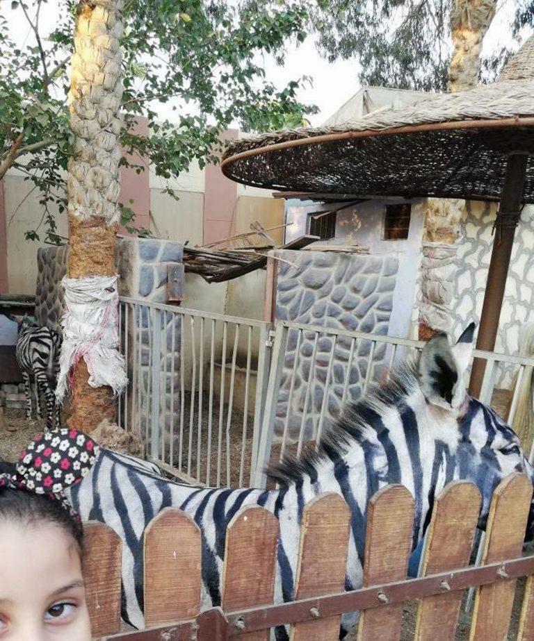 """""""Ух ты, зебра полиняла!"""" Курортный зоопарк раскрасил ослов, чтобы люди приняли их за экзотику... рис 3"""