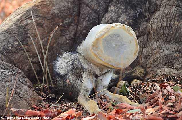 Они спасли его от жалкого конца! Ребята 3 часа бежали за худым индийским волком с баллоном на голове... рис 2
