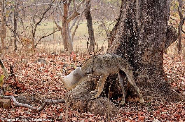 Они спасли его от жалкого конца! Ребята 3 часа бежали за худым индийским волком с баллоном на голове...