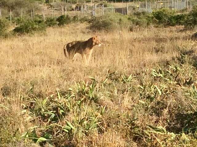 Вот что произошло со львёнком в заброшенном парижском доме... Зато теперь его грива ловит ветер! рис 5