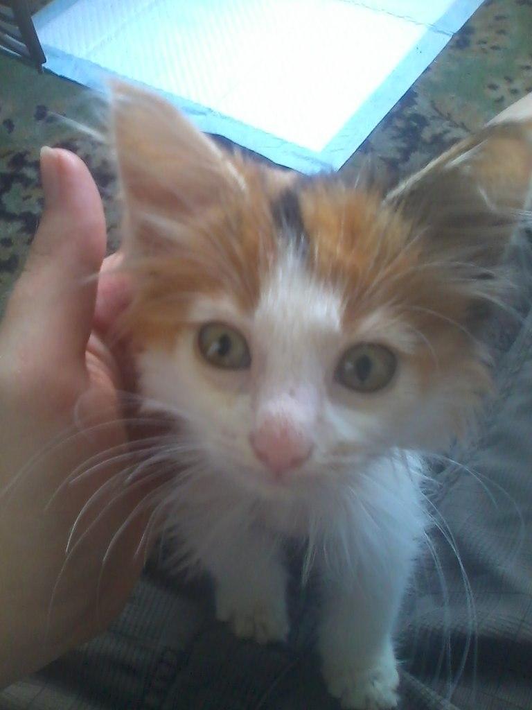 котенок рис 2