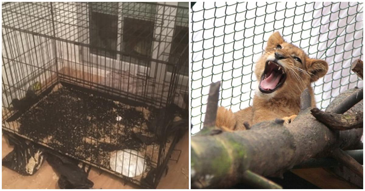 Вот что произошло со львёнком в заброшенном парижском доме... Зато теперь его грива ловит ветер! рис 2