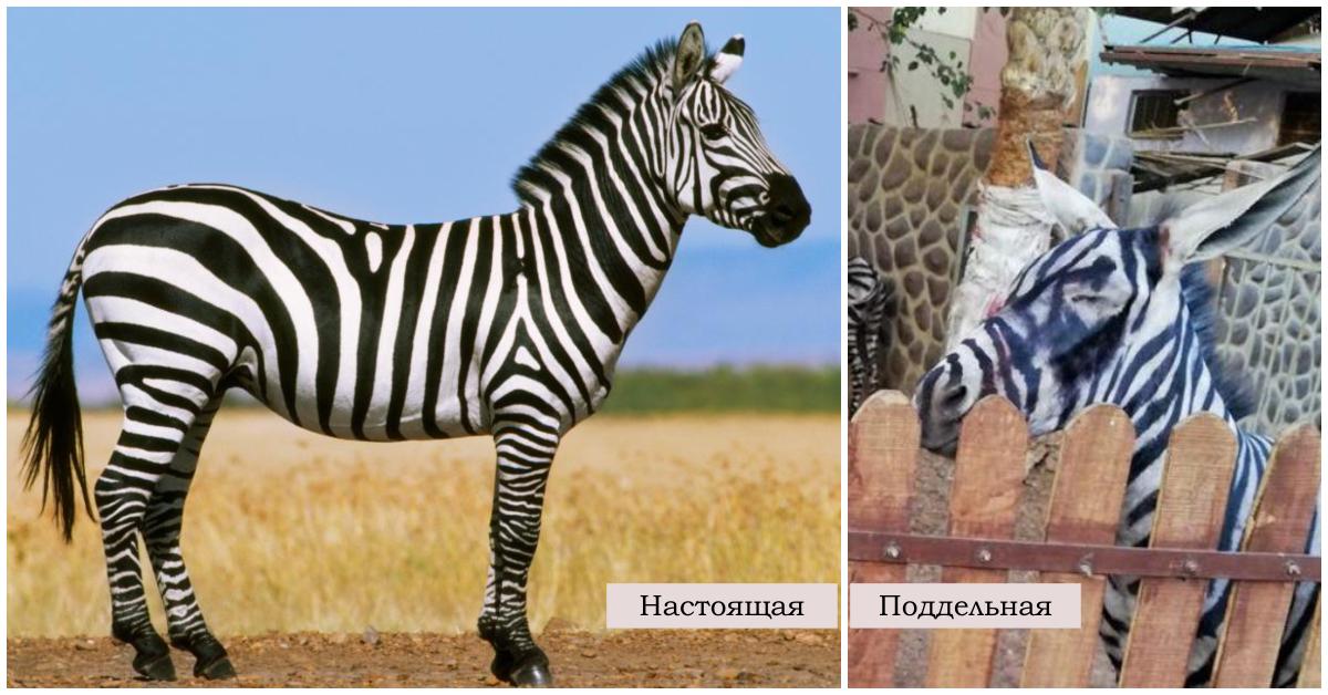 """""""Ух ты, зебра полиняла!"""" Курортный зоопарк раскрасил ослов, чтобы люди приняли их за экзотику... рис 5"""