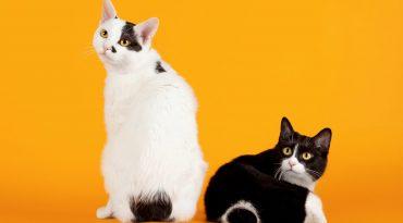 Two Black and white japanese bobtails on orange background