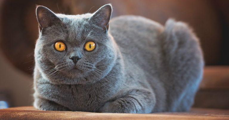 Британская короткошерстная кошка: советы по содержанию (фото ... | 403x768