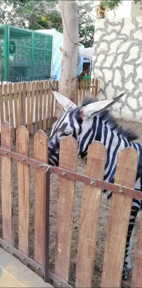 """""""Ух ты, зебра полиняла!"""" Курортный зоопарк раскрасил ослов, чтобы люди приняли их за экзотику... рис 4"""