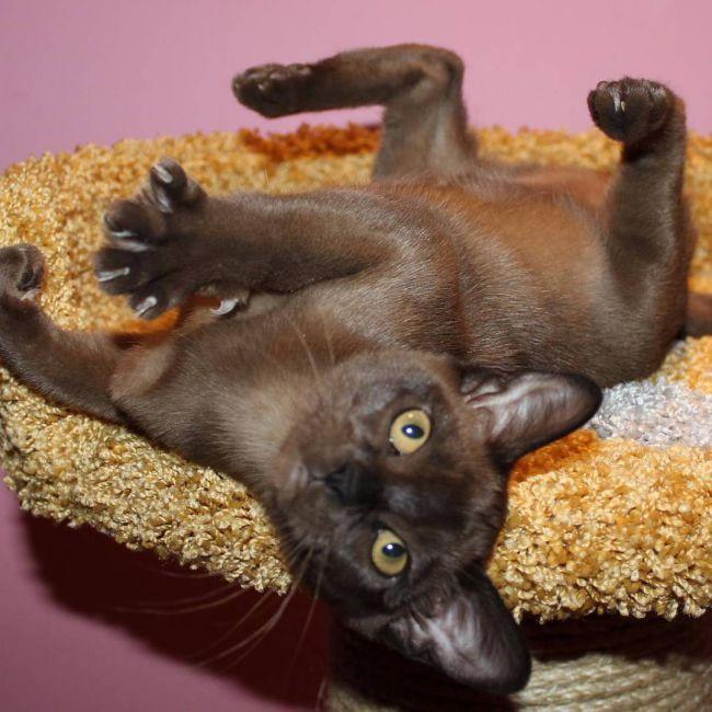 Бурманская кошка уход и содержание 3