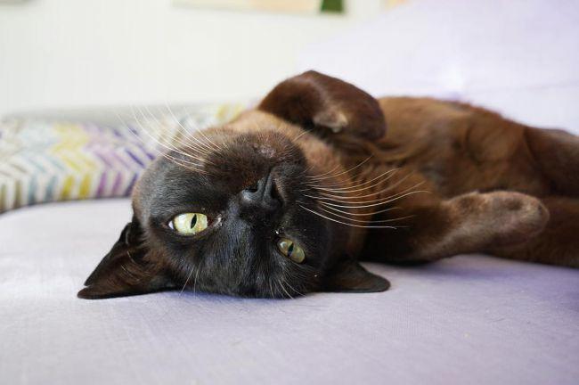 Бурманская кошка уход и содержание