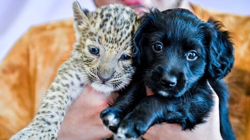 щенок и леопард
