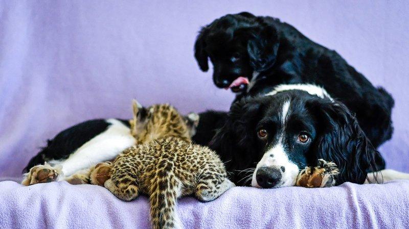 собаки и леопард