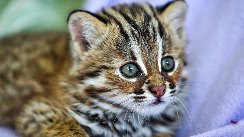 леопард рис 2