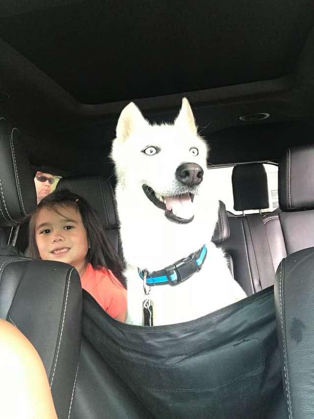 """""""Хаски или нет?"""" Пёс по кличке Небо казался безнадёжным, но стал прекрасным! :) рис 7"""
