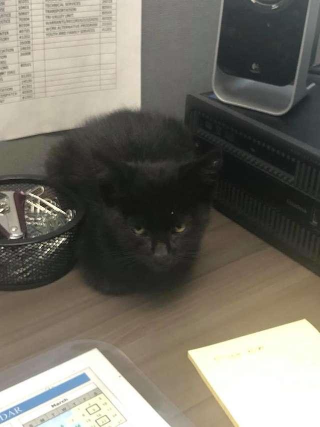 черный котенок рис 2