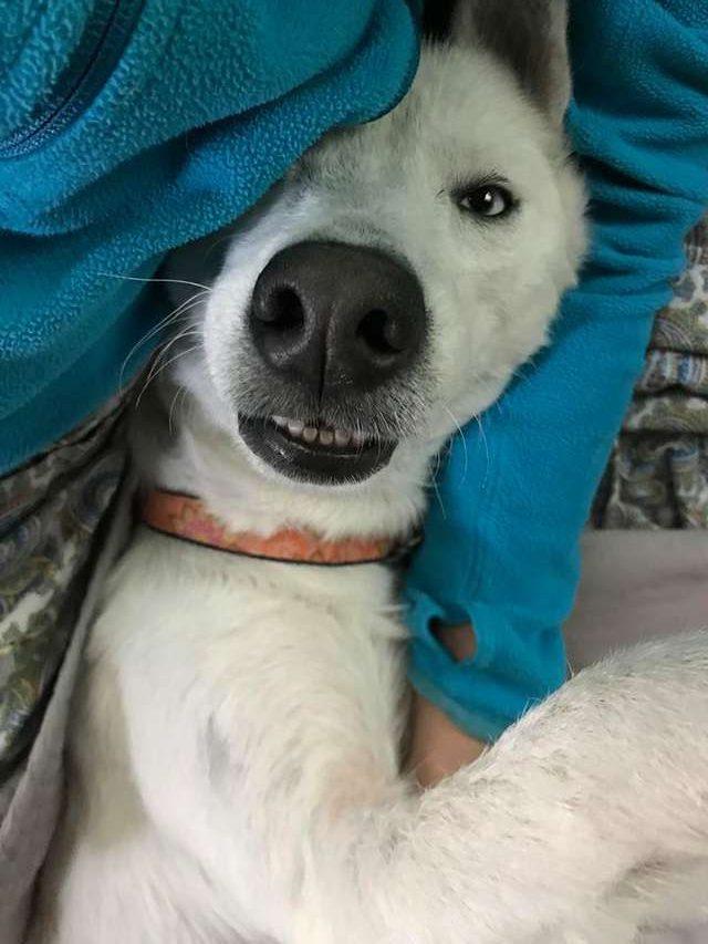 """""""Хаски или нет?"""" Пёс по кличке Небо казался безнадёжным, но стал прекрасным! :) рис 5"""