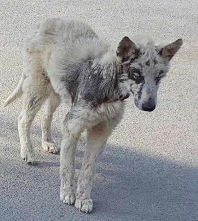 """""""Хаски или нет?"""" Пёс по кличке Небо казался безнадёжным, но стал прекрасным! :) рис 2"""