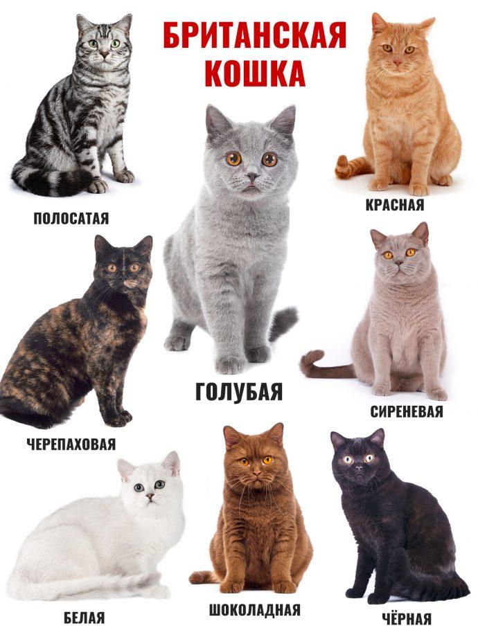 Восемь окрасов кошек британской породы