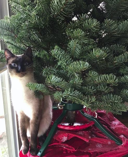 сиамский кот под ёлкой