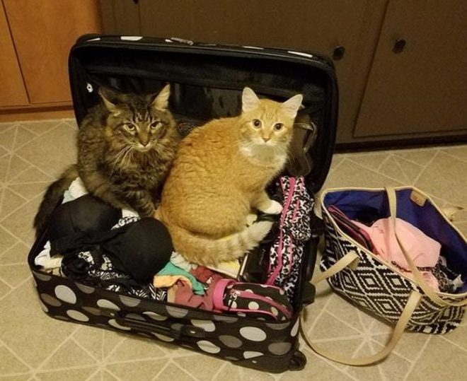 кошки залезли в чемодан