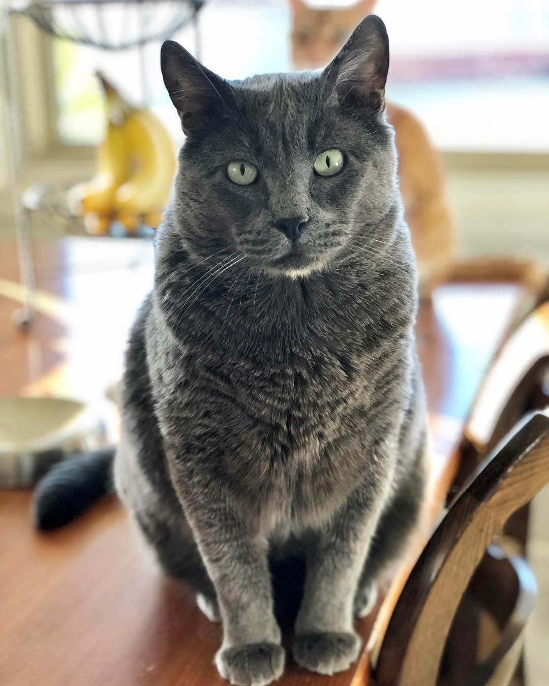 серый кот смотрит на зрителя