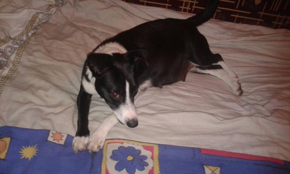 черно-белый пес на кровати