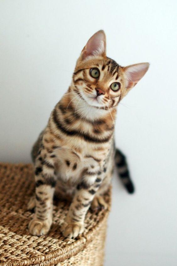 бенгальский кот в квартире