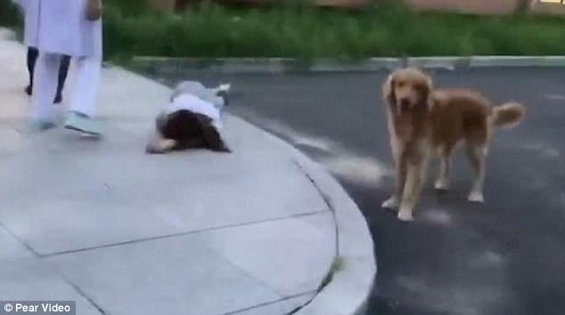 собака охраняет хозяйку