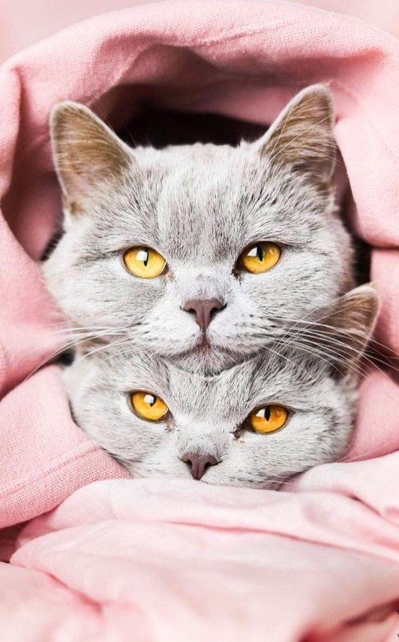 Британские короткошерстные серые котята