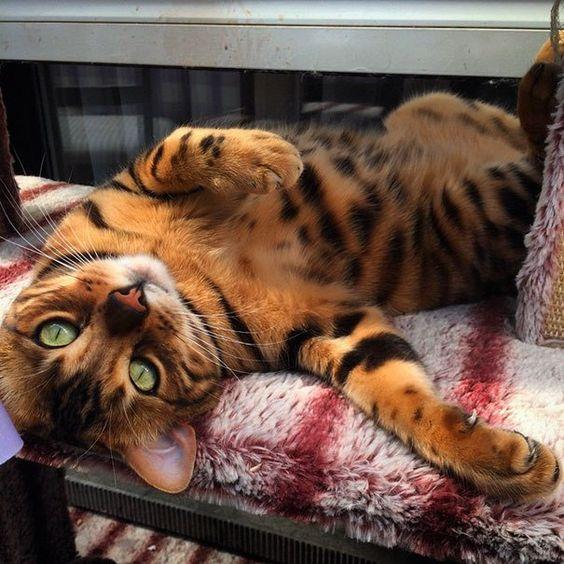 бенгальский кот отдыхает рис 2