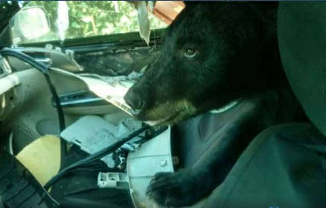 медведь сидит в машине