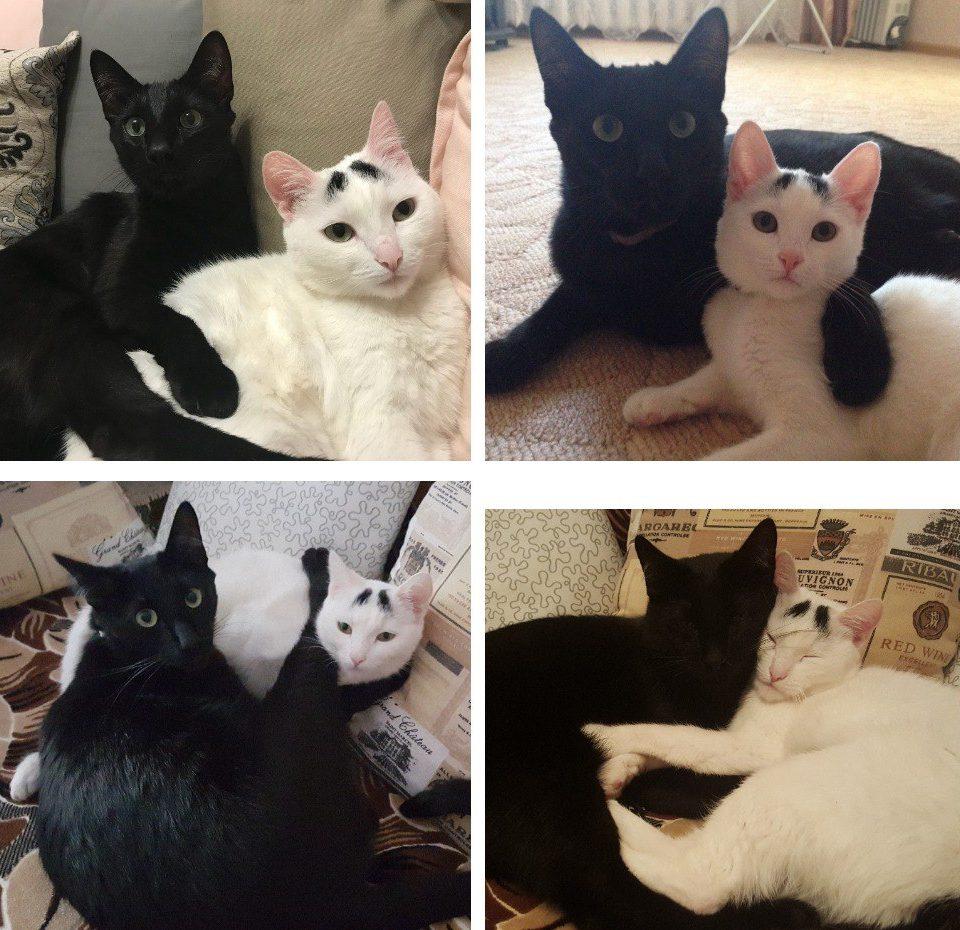 черный кот и белая кошка