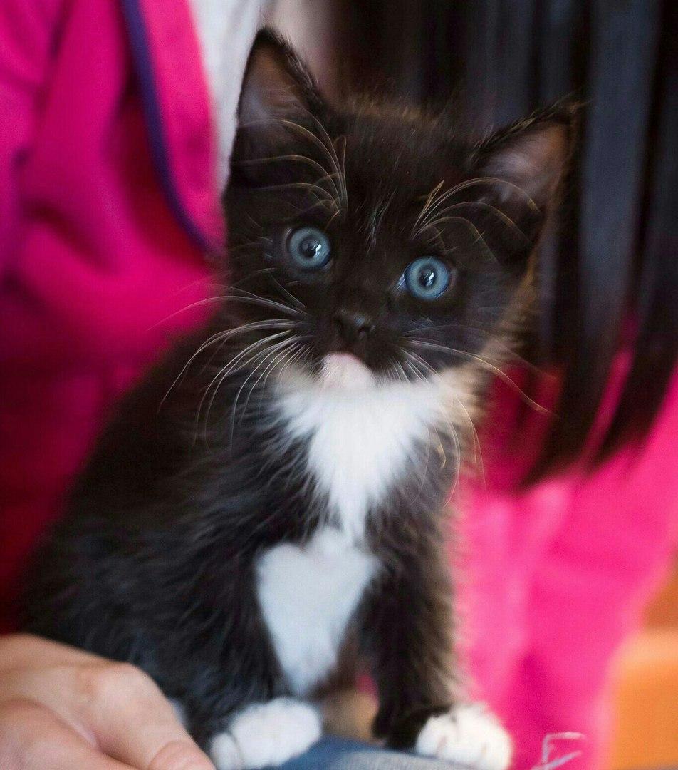 черный котенок с голубыми глазами