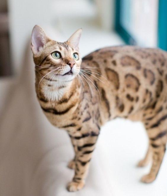 бенгальский кот гуляет