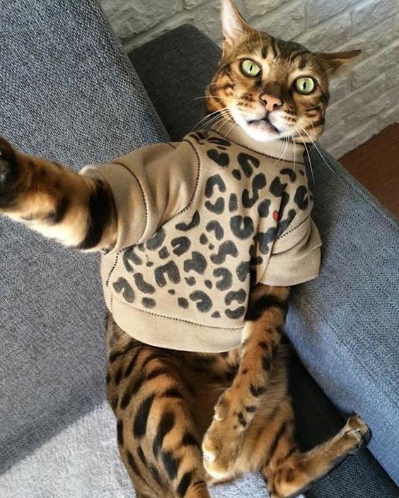 бенгальский кот в одежке