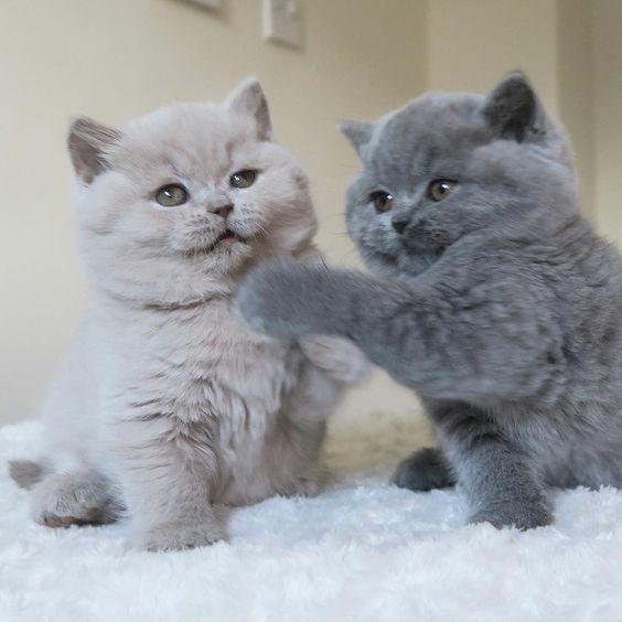 Британские короткошерстные котята, белый и серый