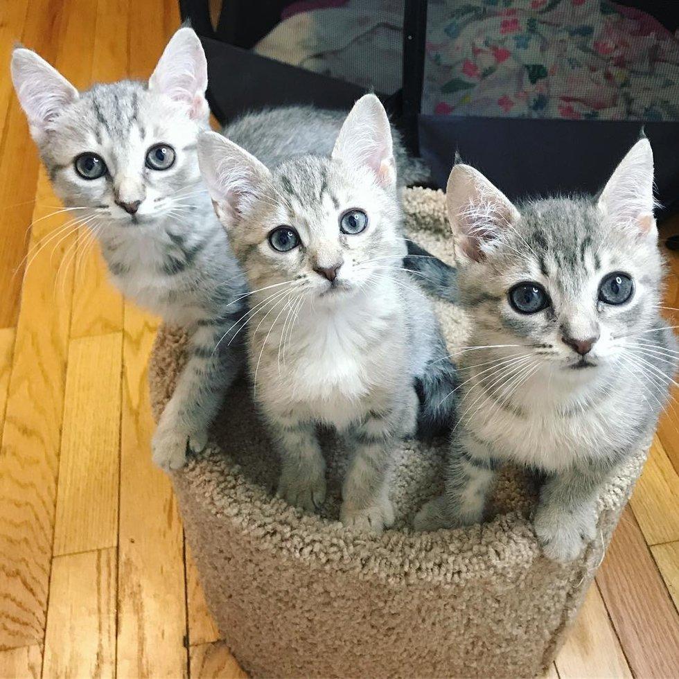 три серых кота на когтетке