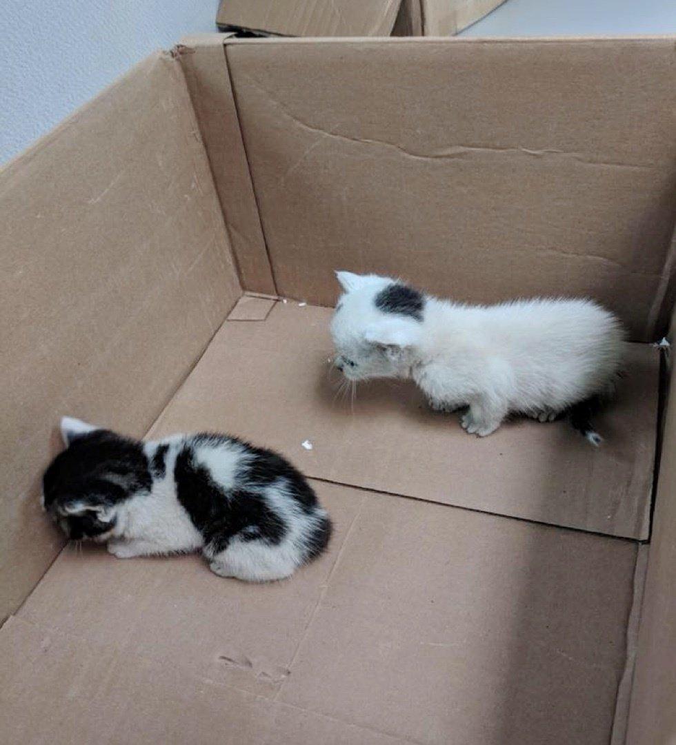 двое котят в коробке рис 2