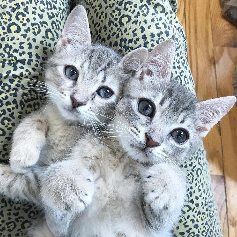 два серых котенка