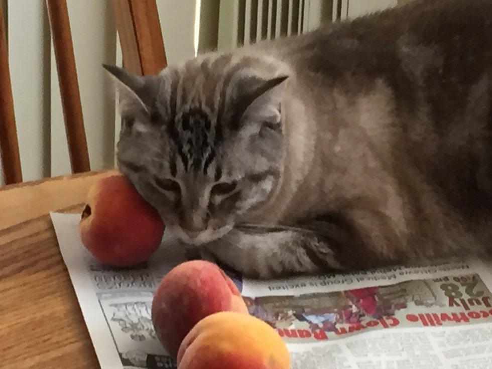 кот трется мордой о персики