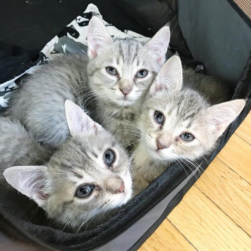 три серых кота