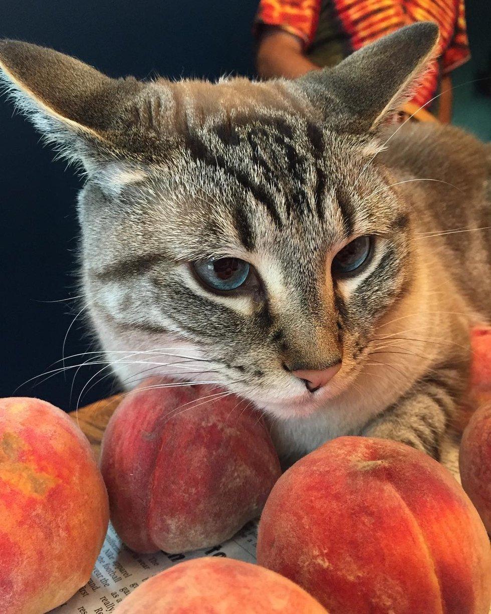 кот рядом с персиками рис 2