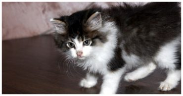 котеннок