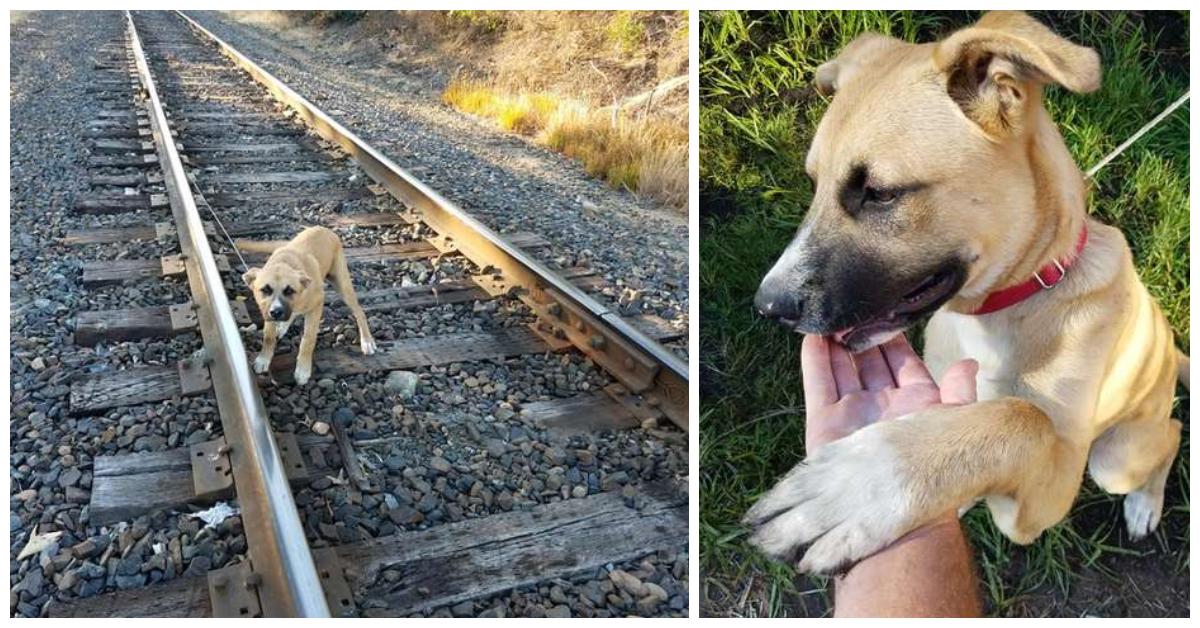 бежевая собака на рельсах